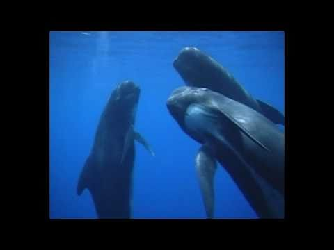Cetaceans of the Pelagos Sanctuary - a footage by Tethys