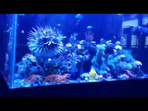 My 5yr Old Porcupine Puffer Fish Milo Blown Up
