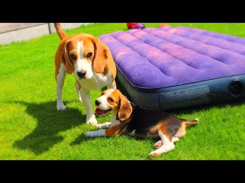 Cute Beagle Puppy Compilation : Funny Beagles Louie & Marie