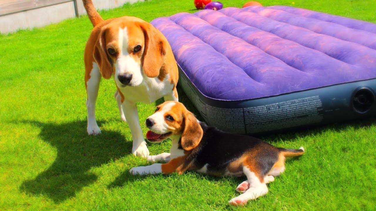 R Beagles Smart Cute Beagle Puppy Comp...