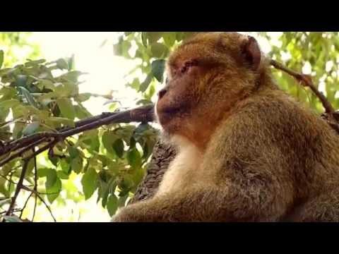 Wild Barbary Macaques in Jijel, Algeria