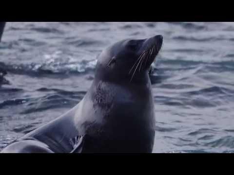 Cape Bridgewater's Surfing Seals