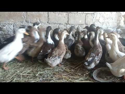 Evcil ördekler Komik Videolar Kaşık Gagalı ördeklerin Vak Vak Vak Diyerek ötüşü çocuklar Için