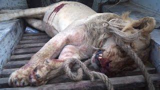 Download Video Singa Vs Banteng '1 Singa Mati' | Pertarungan Binatang Buas MP3 3GP MP4