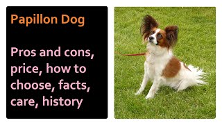 Papillon. Pros and Cons, Price, How to choose, Facts, Care, History