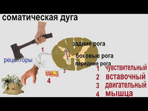 Анатомия: нервная система 1