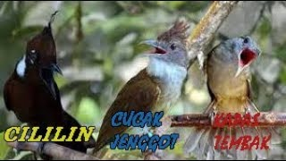 Download Komplikasi Masteran Cililin Vs Cucak Jenggot Vs Kapas Tembak Mantull