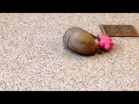 A Playing Armadillo Is As Adorably Roly Poly As