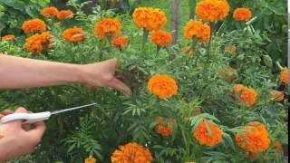 How to Harvest Marigolds