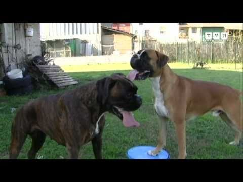 il boxer - youtube