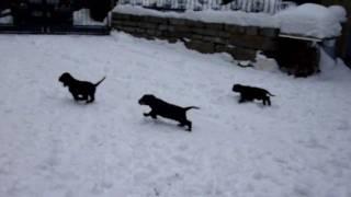English Cocker Spaniel Welpen / Puppies 9 Wochen Alt Im Schnee