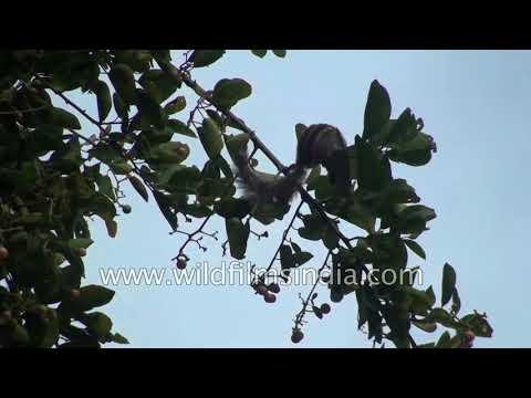 Challehannu Cordia dichotoma Indian cherry