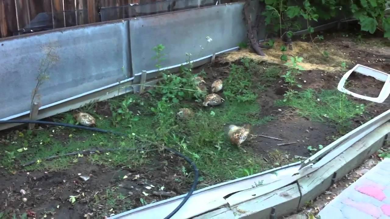 quails on back yard youtube