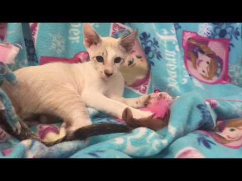 Straight Brush Coat Peterbald Kitten