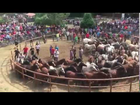 Unhas 150 cabezas pasaron este domingo polo curro de Amil