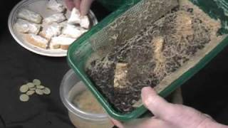 Whiteworms raising for tropical fish food