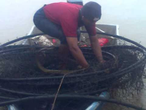 ikan tapah sungai perak telok bakong