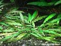 Cryptocoryne willisii - Kryptokoryna Willisova - aquarium plant