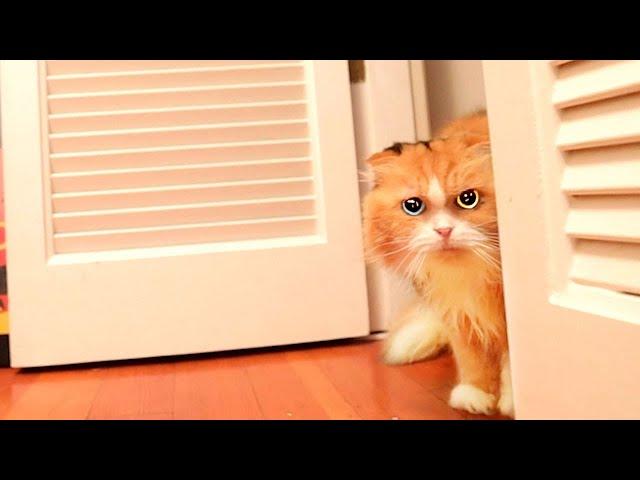 【しゃべる猫】ママの留守が寂しくてママを懸命に探す猫ティッティ【しおちゃん】