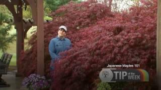 Sanders Nursery Tip of the Week #11 - Japanese Maples