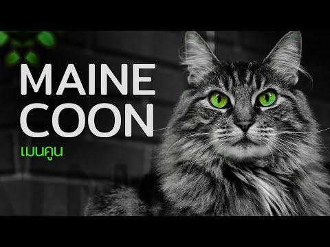 """5 เรื่องรู้หรือไม่ของแมวไซส์ยักษ์  """"เมนคูน"""""""