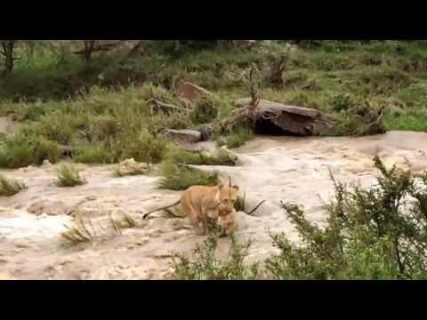 Lioness Carries Cub Across Dangerous River (not mine(