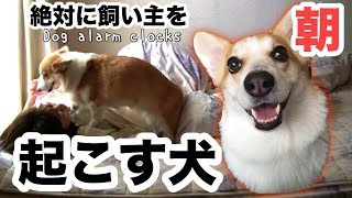 【笑う犬】飼い主を起こすコーギー Dog Waking up Owner thumbnail
