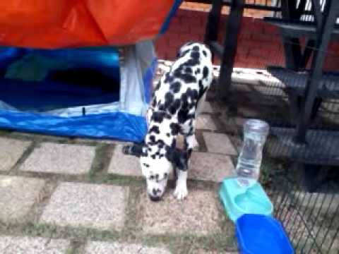 dalmatian-dog-for-adoption---1-year,-trudy-and-lily-from-kajang,-selangor