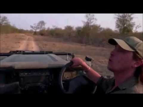 Safari Live : Brents terrifying man eating Lion story  Aug 20, 2016
