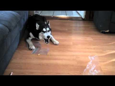 Siberian Husky Talks Back - Powder... What did you do ?