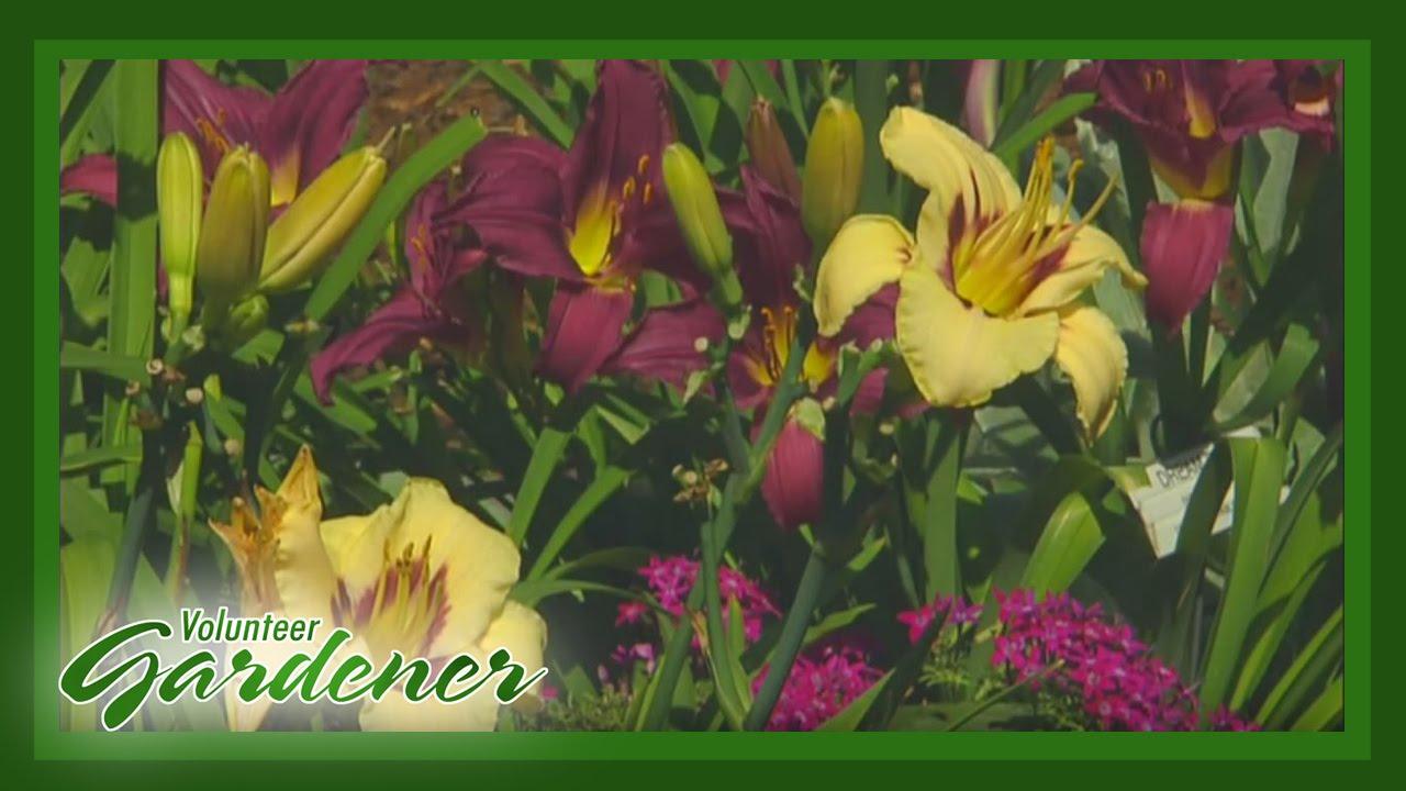 Daylily Garden | Volunteer Gardener