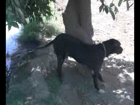 bully dog at tando adam Travel Video