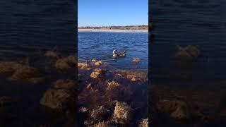 Карелия. Сезон рыбной ловли открыт купанием лабрадора маламута в озере. Забавное видео про животных