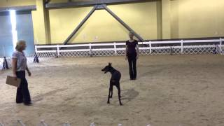 """11 Months & 1 Day Old Obedience Trained Doberman """"finn"""" Protection Trained Home Raised For Sale"""