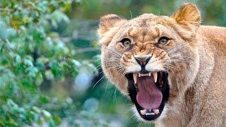 Дикая природа Охота диких животных Африки
