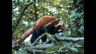 Red Panda - truly huggable
