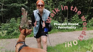 Getting a Pharaoh Hound? | This is what you get!