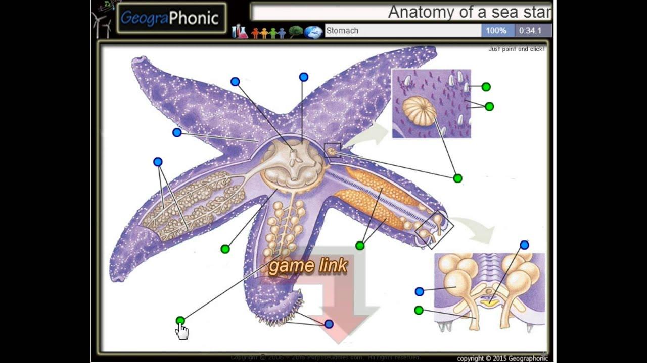 Anatomía de una estrella de mar, gónadas, pies de tubo, branquias ...