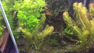 Java moss makes your tank look mature