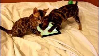 Бенгальские котята игры. www.bengalocats.com