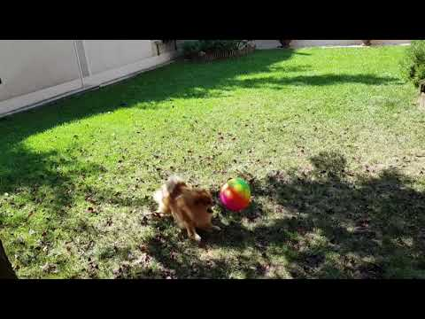 FIGHT FOR PLAYING WITH A BALL - POMERANIAN & GERMAN SPITZ