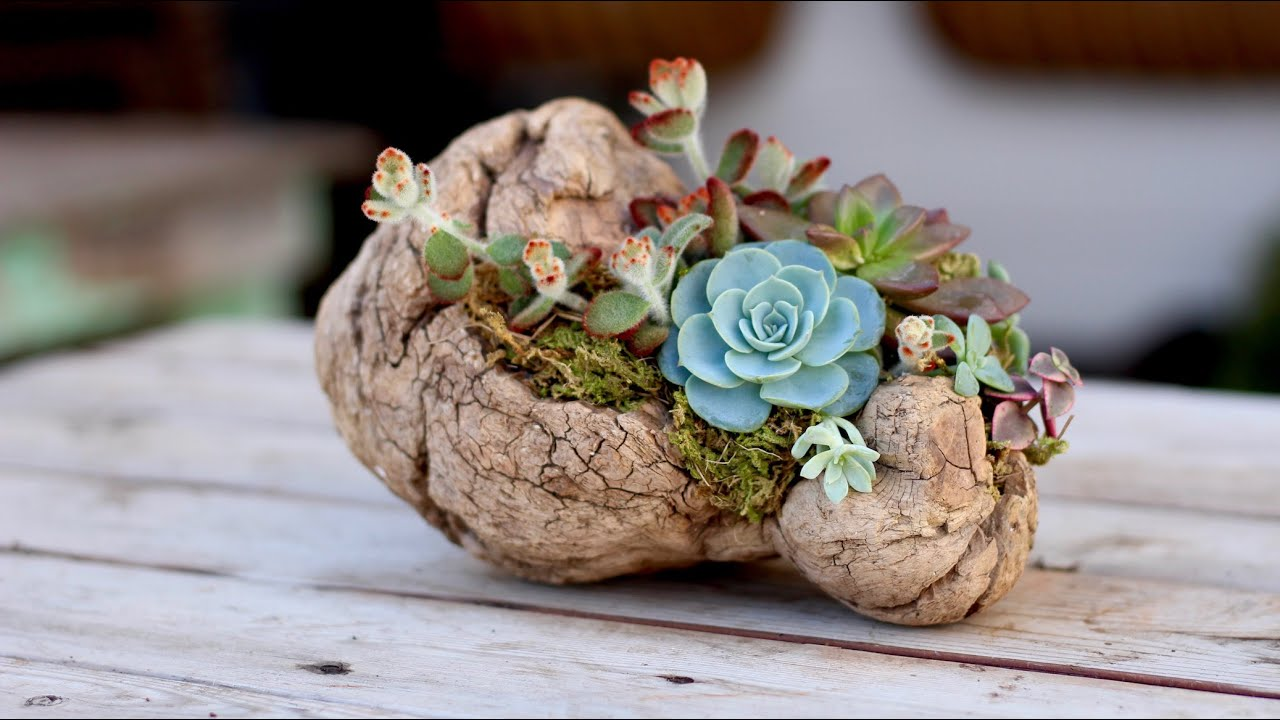 How To Plant Succulents On Driftwood Without Soil Youtube