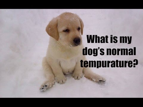 What Is My Dogs Normal Temperature  YouTube