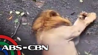 TV Patrol: Panoorin ang Leon sa Manila Zoo, nangingisay