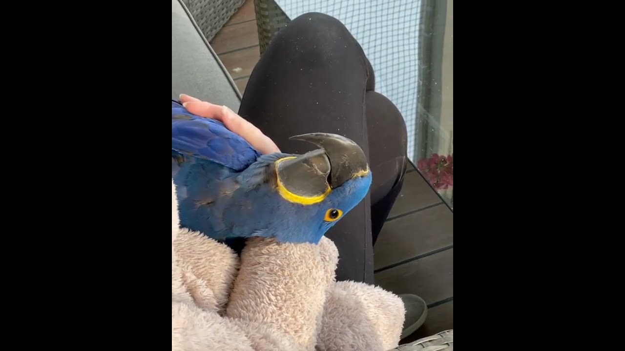 Adorable Hyacinth Macaw, Colourful macaw video, Pet animal video
