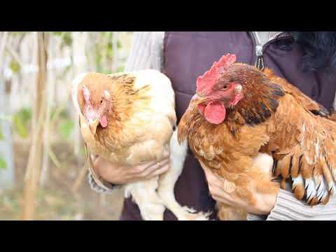 Объявления: покупка-продажа кур несушек, цыплят бройлеров 100
