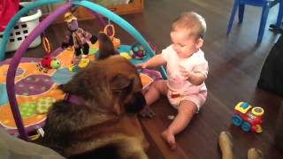 German Shepherd Playing With A Little Baby Girl