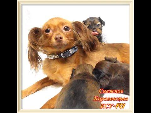 Русский той (той-терьер) собаки и щенки питомника гранд тандем, продажа щенков русского тоя, результаты собак питомника на выставках, их фотографии.
