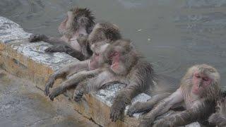 北海道函館市でサルが露天風呂に漬かって寒さをしのいでいる。