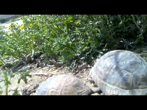 Черепаха оргазм
